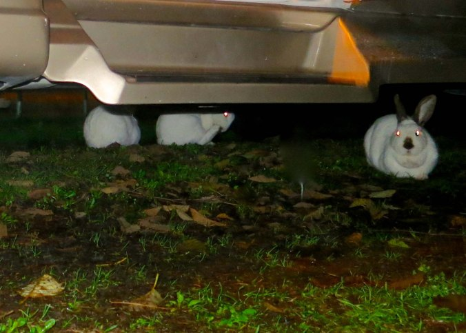 It rained really hard that night. I discovered I had several rabbits using my van as shelter. The step is the doorstep to my van.