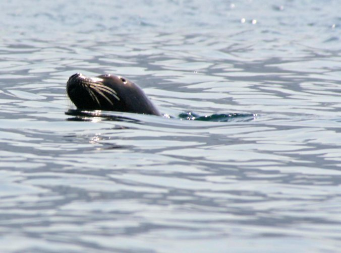 The whales kept their distance, but a curious seal stopped by to check us out. (Photo by Peggy Mekemson.)
