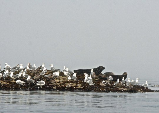 Seals and seagulls on an island in Blackfish Sound, British Columbia.