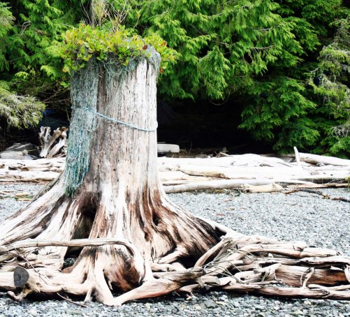 Dead stump with green growth on beach next to Orca-Lab on Hanson Island, Johnstone Strait, British Columbia.