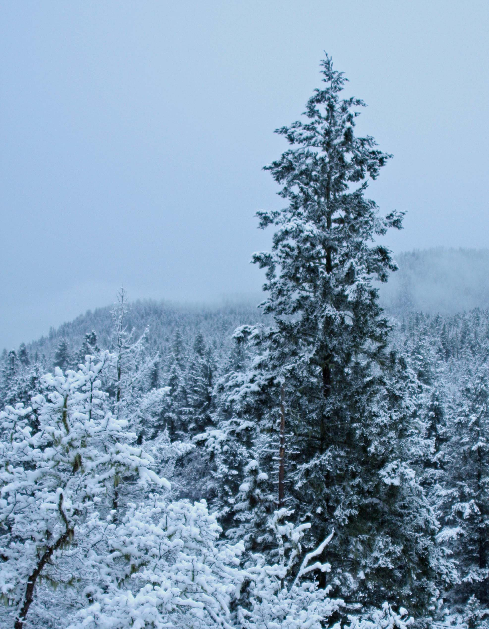 White oaks ans cedar covered with snow on the Applegat River of southern Oregon.