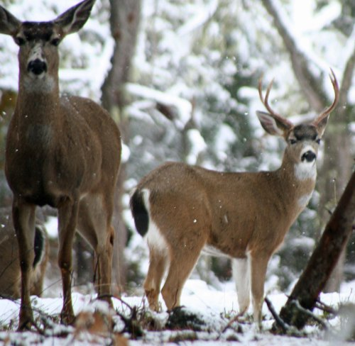 Doe and buck black tail deer in snow in southern Oregon.