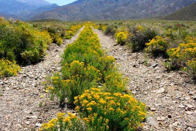 April: Old road with April flowers in Death Valley National Park. Eastern California.
