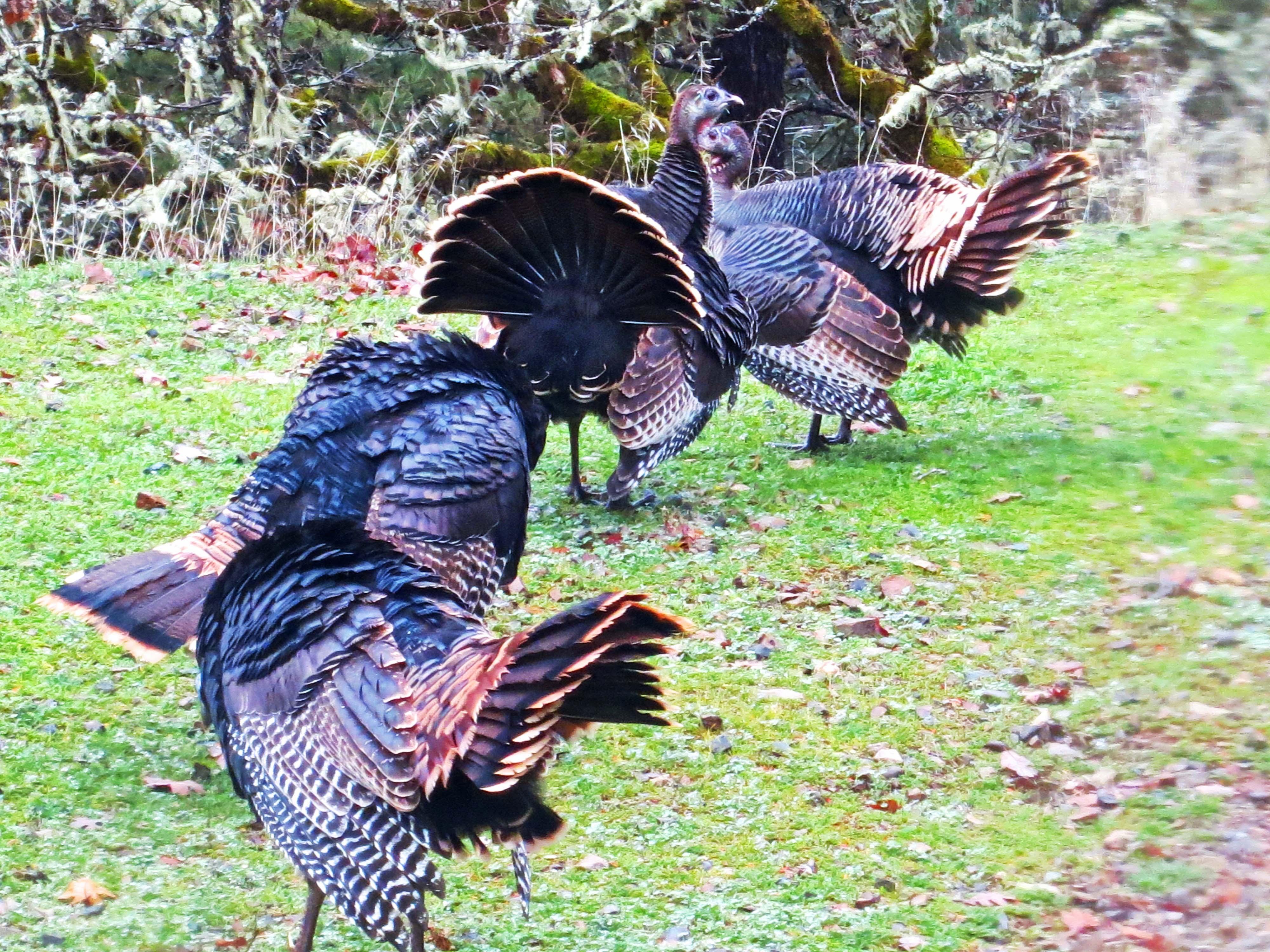 Wild turkeys on display in southern Oregon. Photo by Curtis Mekemson.