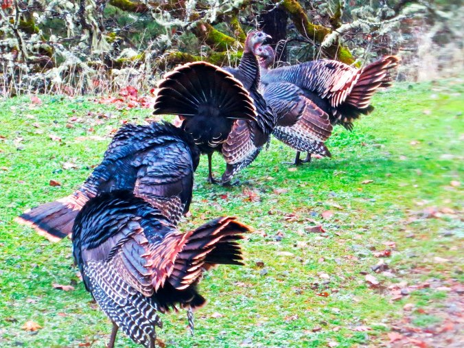 Wild turkeys on display in southern Oregon. Photo by Curtis Mekemson.