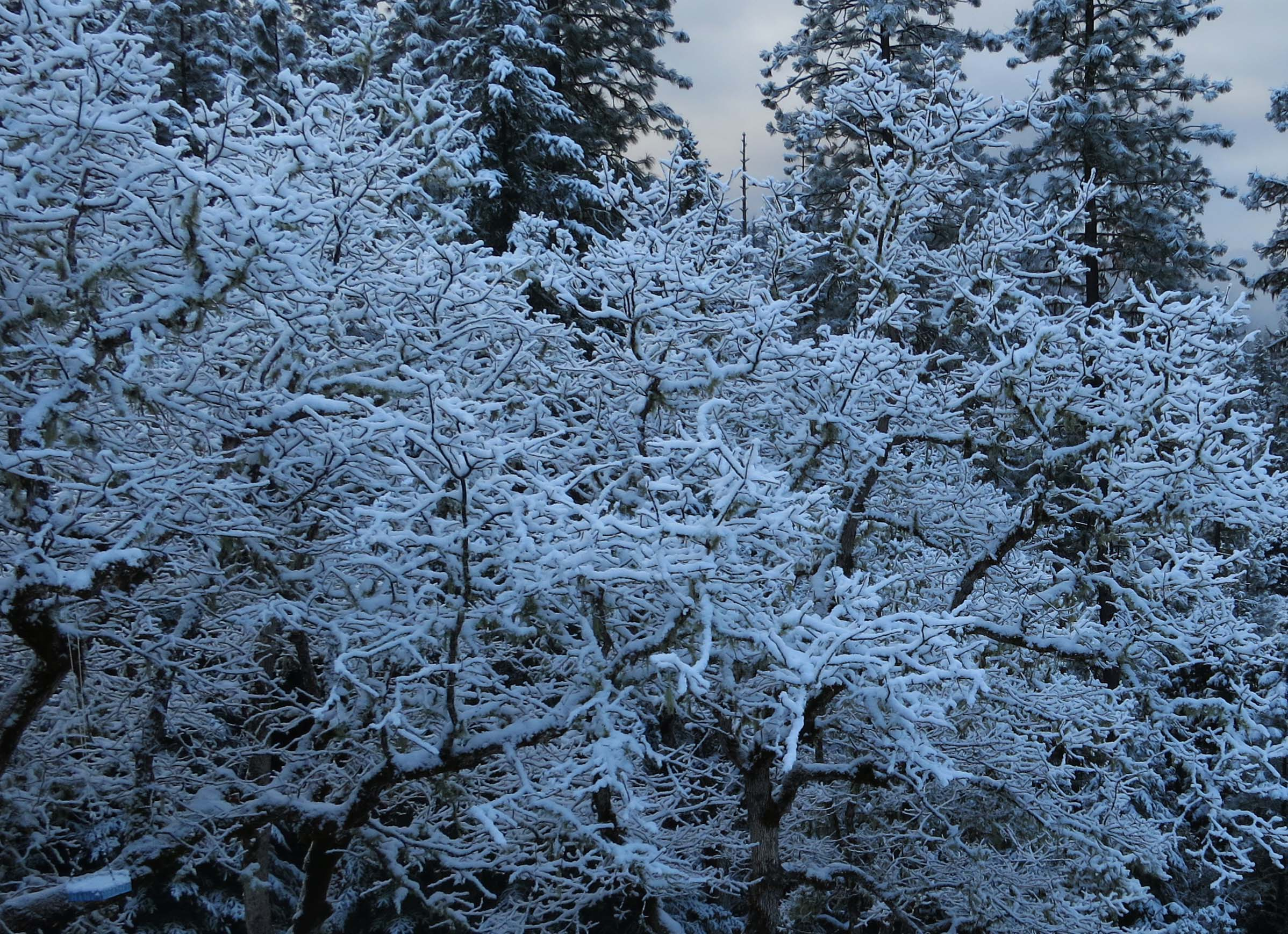 White oaks in the Applegate Valley of southern Oregon covered in snow. Photo by Curtis Mekemson.