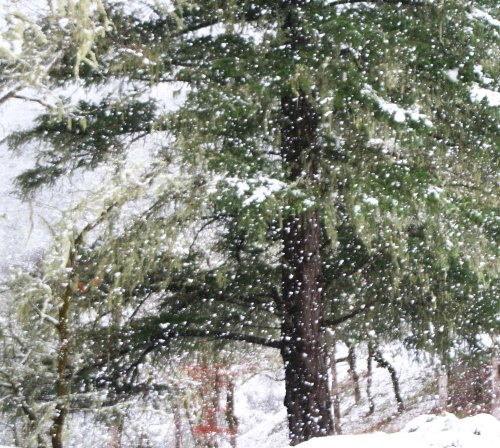 Snow falls on cedars in Upper Applegate Valley of southern Oregon.