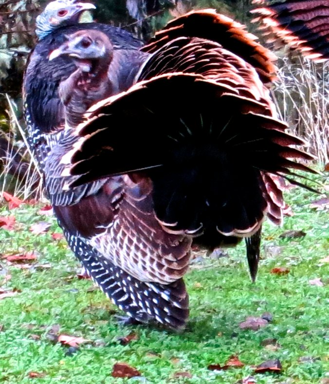 Wild turkeys use their tails for a fan dance in southern Oregon. (Photo by Curtis Mekemson.)