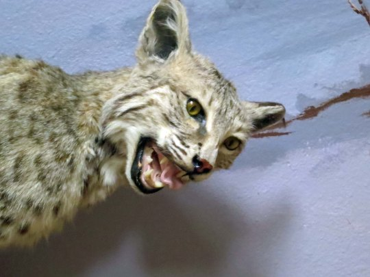 I've run into several bobcats over the years, but none looked quite as ferocious as this fellow.