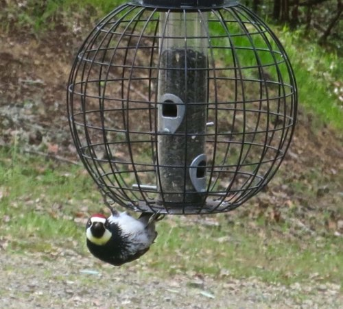 "Remember Linda Blair in the ""Exorcist"" and how she turned her head around backward on her neck? Now, check out the Acorn Woodpecker."