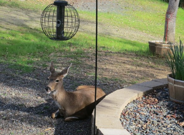 One doe lies down next to the bird feeder.