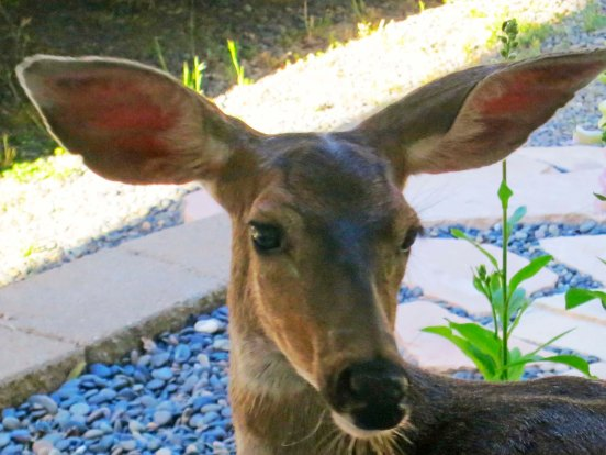It isn't unusual for deer to look in our windows. I caught this doe checking me out last summer while I sat in the library. Aren't the ears magnificent?