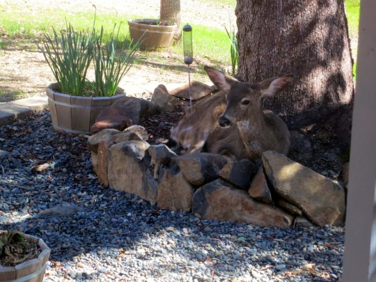 Another chooses to lie down under our Madrone, just to the left of the first doe.