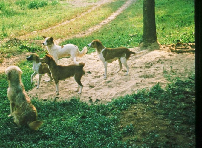 Basenji dog in Liberia, West Africa.