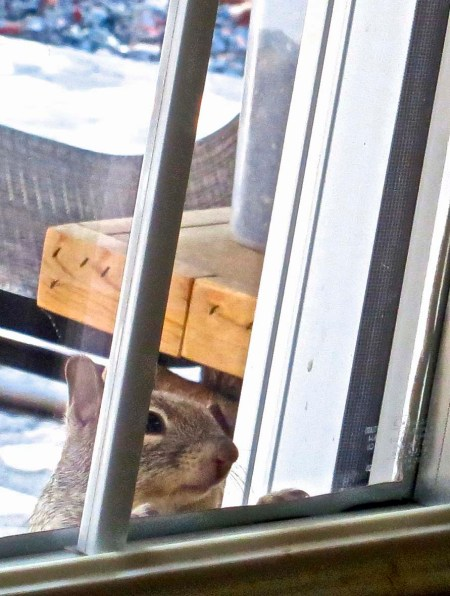 "A ground squirrel peers through a glass pane on our door. ""Come on Curt, lend a hand."""