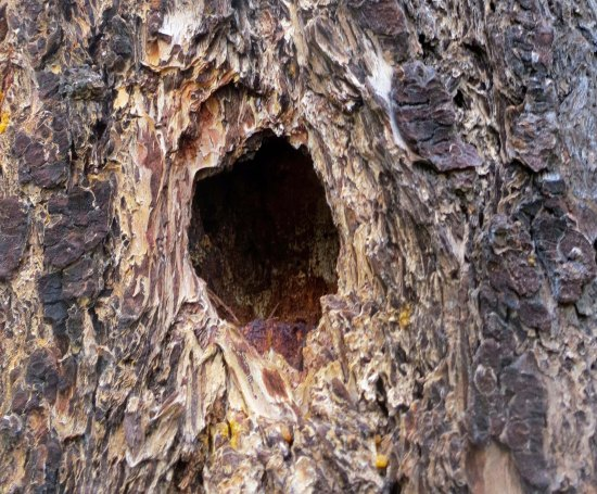 Signs of animal life are found throughout the property. This large hole was probably drilled by a Pileated Woodpecker.