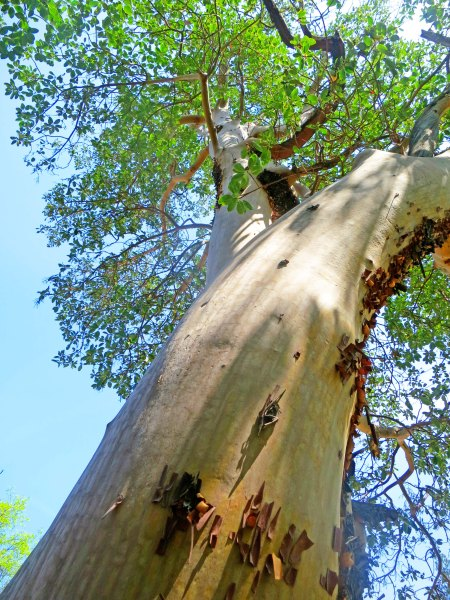 Large Madrone growing near Applegate River in southern Oregon.