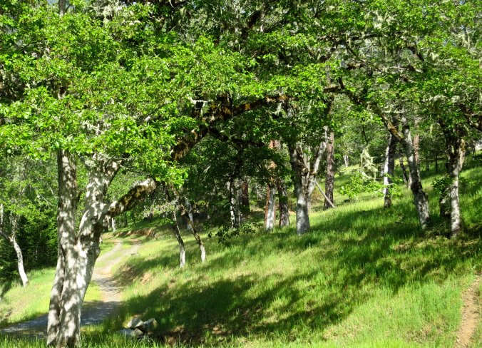 White oak woodland in Southern Oregon in the Applegate Valley. Photo by Curtis Mekemson.