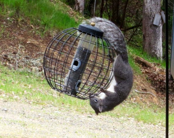 Grey squirrel Applegate Valley of southern Oregon, tackles a bird feeder. Photo by Curtis Mekemson.