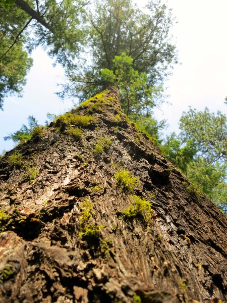 Ponderosa Pine growing at the 2000 foot elevation on the Upper Applegate River.