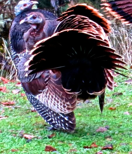 Tom turkey on display in Upper Applegate Valley, southern Oregon.