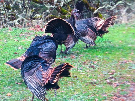 Tom turkeys strut their stuff in southern Oregon.