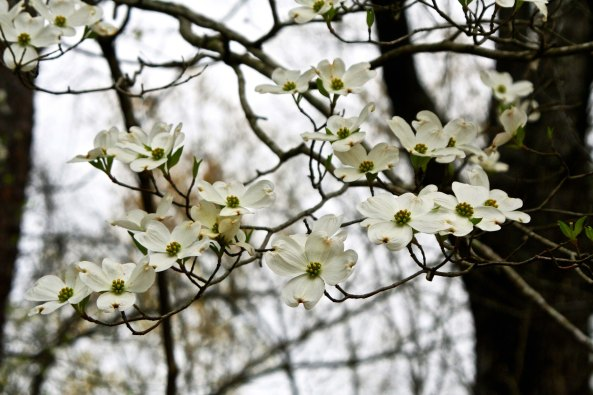 Miles and miles of dogwood bloom along the natchez Trace in Spring.