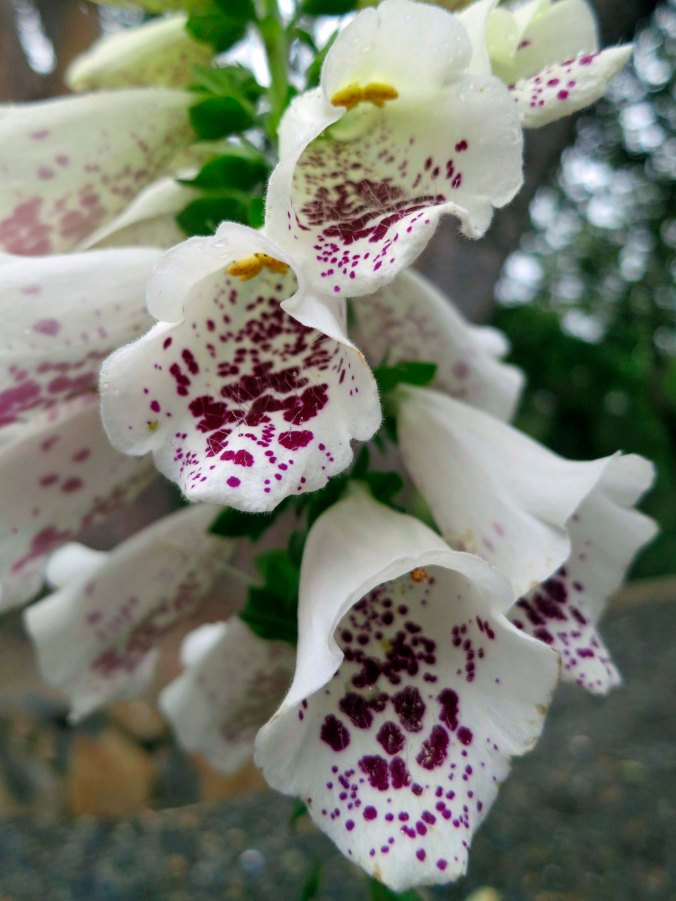 One of the plants we have found that deer won't touch is foxglove. We are planting it liberally around our house.