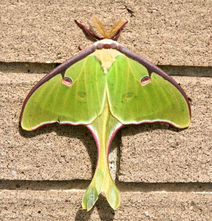 Peggy and I were driving down the Natchez Trace when we came on this beautiful Luna Moth with a wingspan of about four inches. It was one of many treasure we found along the way.