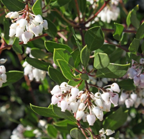 Manzanita was also in bloom with its sweet smelling flowers. This shrub also grows on our property in southern Oregon.