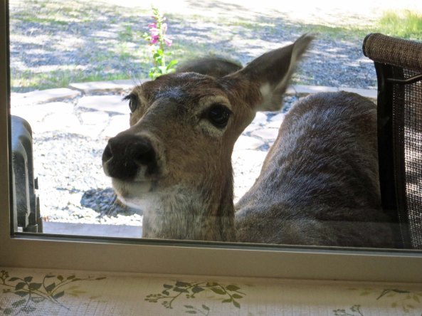 Blacktail deer stares in window of home in southern Oregon.