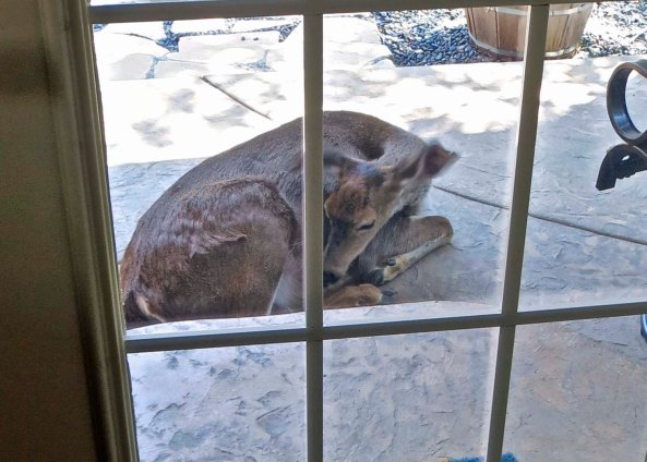 Momma doe sleeping on porch in southern Oregon.