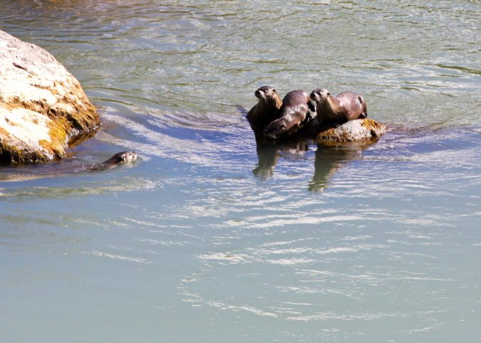 The otters gathered on a rock to cheek us out.