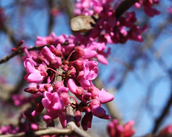 A close up of the redbud.