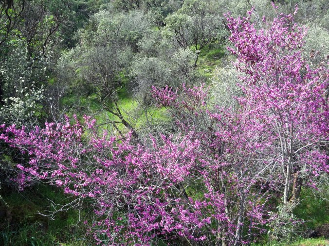 It wasn't quite spring, but no one had told the redbud growing along the Sacramento River.