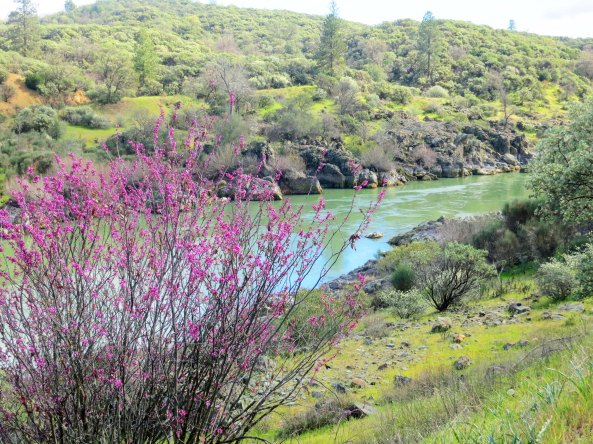 Redbud on Sacramento River.