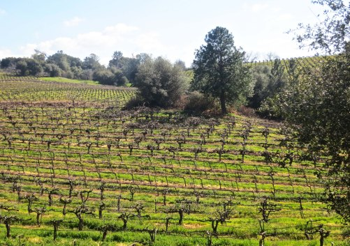 Grapevines. Amador County has become an important wine producing area.