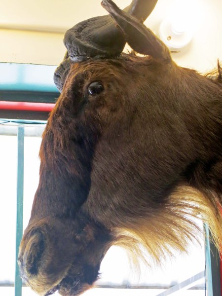 Wilbur the Wildebeest lives in the Book Store.