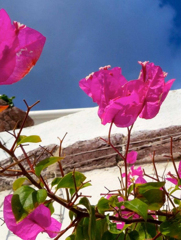 The flowers were also colorful, including this bougainvillea.