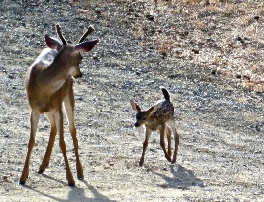 """No, I am not your daddy."" Bucks can be fairly aggressive but they are amazingly gentle when it comes to fawns."