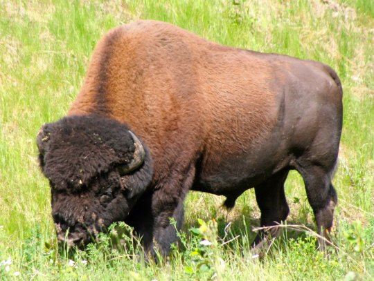 Woodland buffalo have become fairly common when driving through portions of the Yukon Territory. As noted in my last Escape from Alaska blog, Peggy and I took these photos two years ago when we drove the Alaska Highway in the summer.