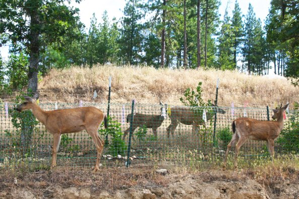 The deer circled the fenced in shrubs, looking for a place to get in. Each day they check the area out to see if something has changed.