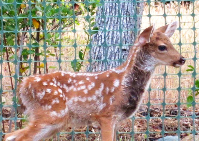 One of the two fawns, the most recent additions to animals that call our property home.