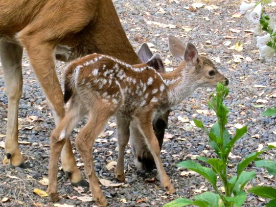 I like this shot because it demonstrates just how small these fawns are. They are less than one month old.
