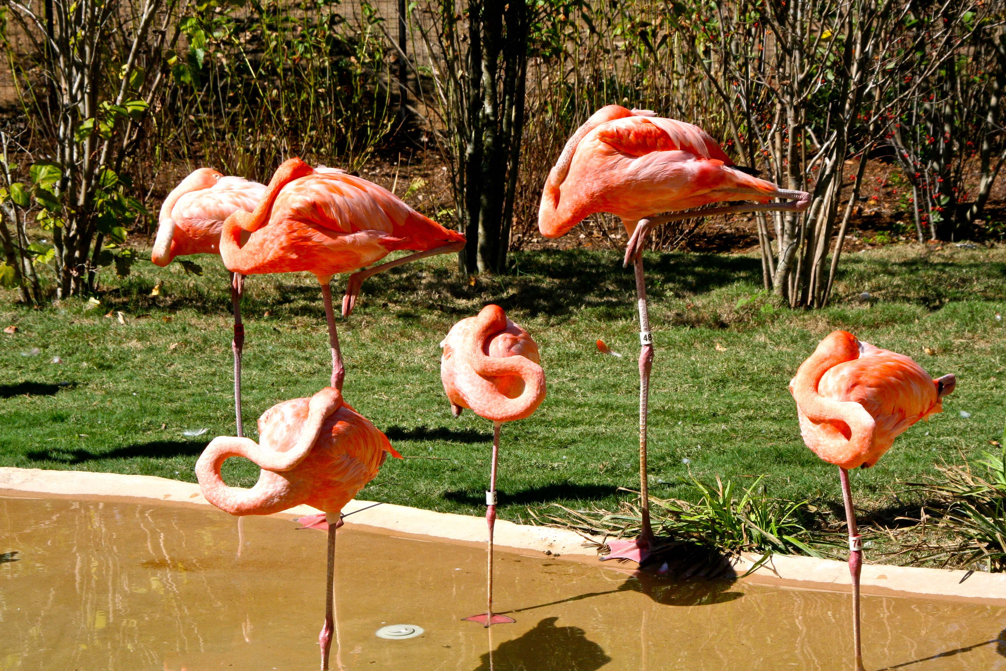 pink flamingo essay In the united states, pink plastic flamingo statues are popular lawn ornaments references external links wikispecies has information related.