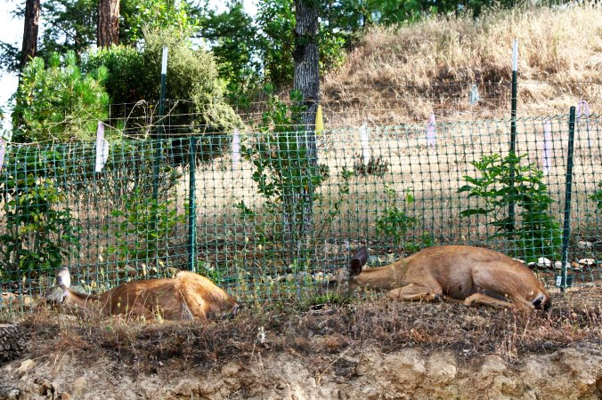 At one point, there were four sleeping in a row along the fence. This is tow of them. (Photo by Peggy Mekemson.)