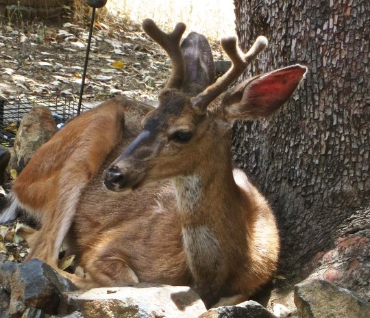 And bed down in the madrone next to our house— a favorite hangout for the deer.  Note: the bucks are still in velvet.