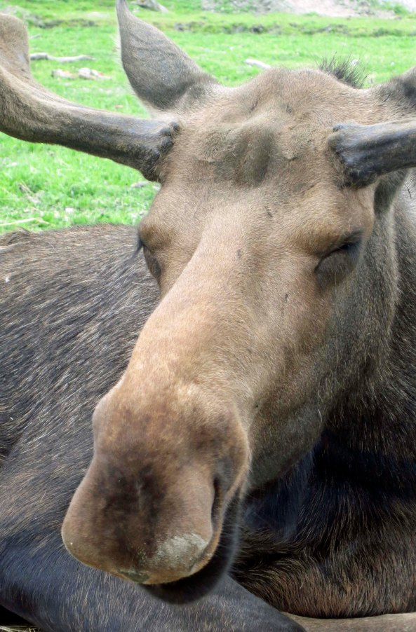 Had I learned to be laid back like this moose, there never would have been a problem.