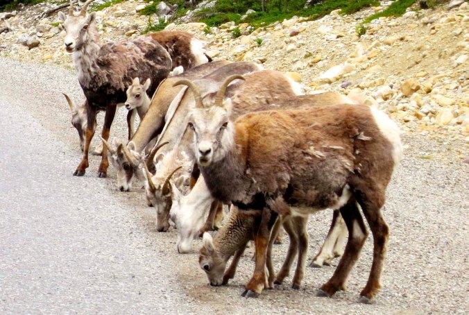 And Dall Sheep...
