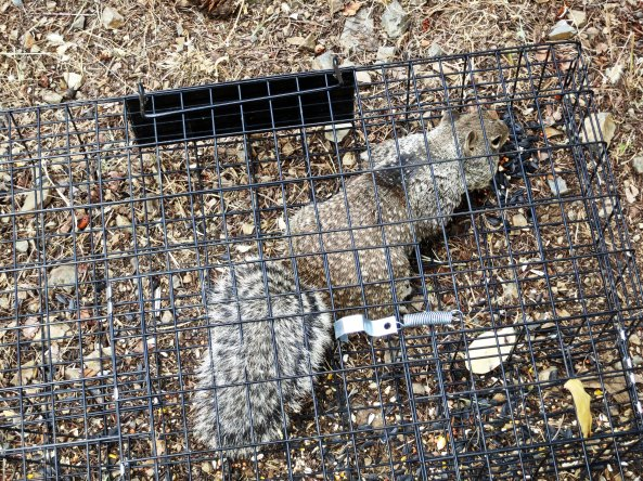 The first squirrel of the day caught in the squirrelinator trap. He was working hard at getting out but not before he stuffed his cheeks with all of the birdseed I had put in the trap. He spit it out when I came up to take his photo, like he didn't want to get caught with the evidence.